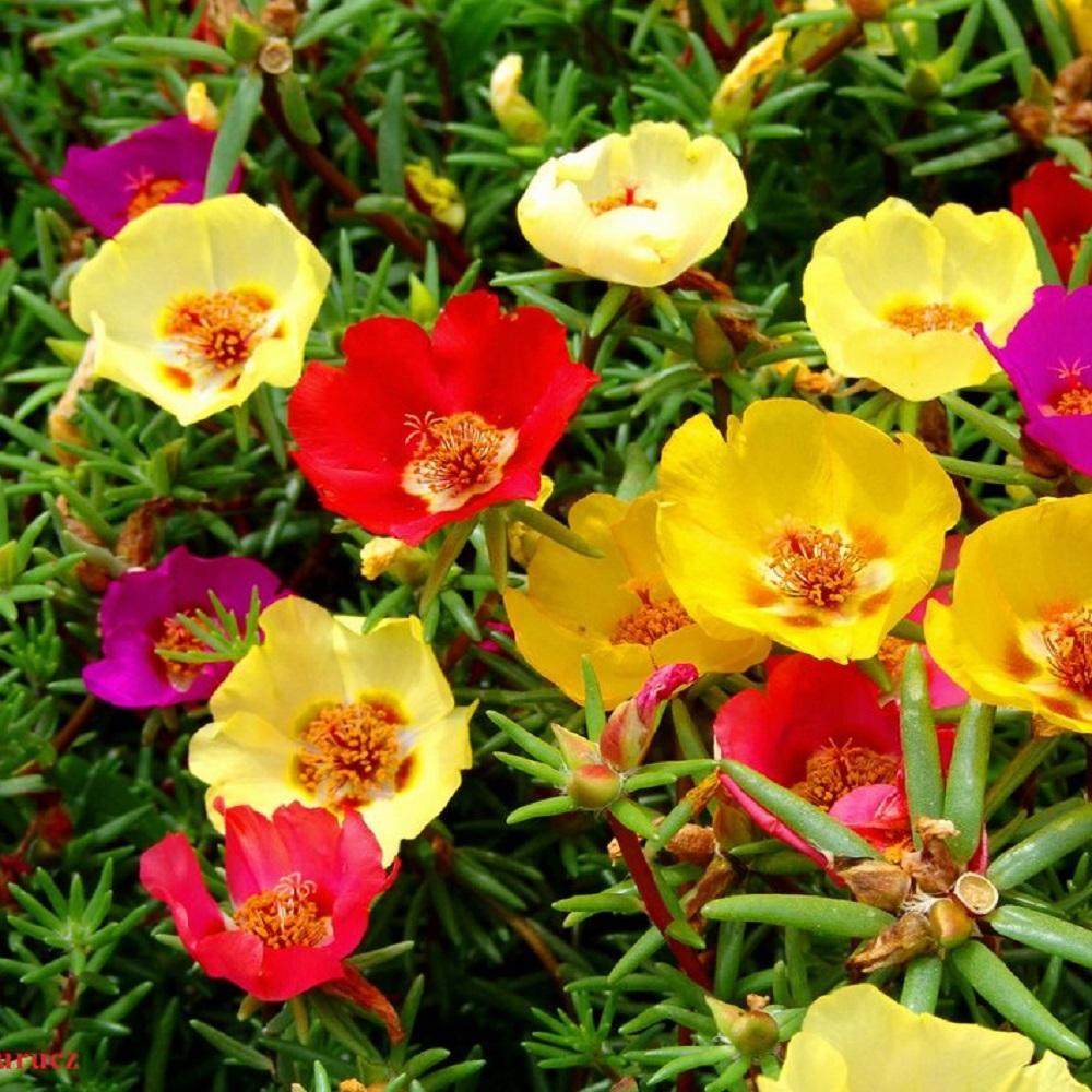 Flower - Portulaca Grandiflora Single Mix