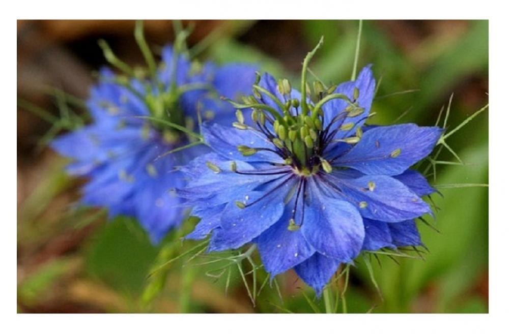 LOVE in a MIST Nigella Damascena Blue Pink White 3 Grams 1000 Seeds //