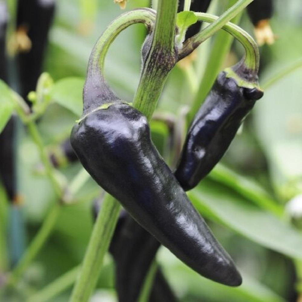 5 Chilli Seeds Purple Gusto